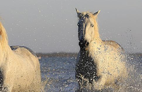 Horses galloping through water